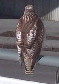 hawk at student observatory