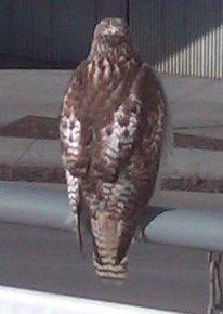 hawk at student observatory